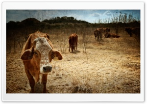 Texas Cows HD Wide Wallpaper for Widescreen