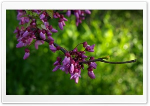Texas Redbud HD Wide Wallpaper for Widescreen