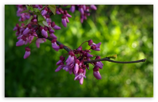 Texas Redbud HD wallpaper for Wide 16:10 5:3 Widescreen WHXGA WQXGA WUXGA WXGA WGA ; HD 16:9 High Definition WQHD QWXGA 1080p 900p 720p QHD nHD ; Standard 4:3 5:4 3:2 Fullscreen UXGA XGA SVGA QSXGA SXGA DVGA HVGA HQVGA devices ( Apple PowerBook G4 iPhone 4 3G 3GS iPod Touch ) ; Tablet 1:1 ; iPad 1/2/Mini ; Mobile 4:3 5:3 3:2 16:9 5:4 - UXGA XGA SVGA WGA DVGA HVGA HQVGA devices ( Apple PowerBook G4 iPhone 4 3G 3GS iPod Touch ) WQHD QWXGA 1080p 900p 720p QHD nHD QSXGA SXGA ;