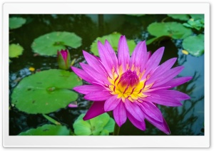 Thailands Water-lily HD Wide Wallpaper for Widescreen