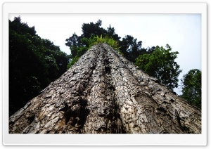 The Biggest Tree HD Wide Wallpaper for Widescreen