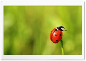 The Brave Ladybug HD Wide Wallpaper for 4K UHD Widescreen desktop & smartphone