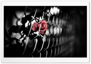 The Brave Rose HD Wide Wallpaper for Widescreen