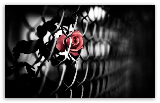 The Brave Rose HD wallpaper for Wide 16:10 5:3 Widescreen WHXGA WQXGA WUXGA WXGA WGA ; HD 16:9 High Definition WQHD QWXGA 1080p 900p 720p QHD nHD ; UHD 16:9 WQHD QWXGA 1080p 900p 720p QHD nHD ; Standard 4:3 5:4 3:2 Fullscreen UXGA XGA SVGA QSXGA SXGA DVGA HVGA HQVGA devices ( Apple PowerBook G4 iPhone 4 3G 3GS iPod Touch ) ; Tablet 1:1 ; iPad 1/2/Mini ; Mobile 4:3 5:3 3:2 16:9 5:4 - UXGA XGA SVGA WGA DVGA HVGA HQVGA devices ( Apple PowerBook G4 iPhone 4 3G 3GS iPod Touch ) WQHD QWXGA 1080p 900p 720p QHD nHD QSXGA SXGA ; Dual 16:10 5:3 16:9 4:3 5:4 WHXGA WQXGA WUXGA WXGA WGA WQHD QWXGA 1080p 900p 720p QHD nHD UXGA XGA SVGA QSXGA SXGA ;