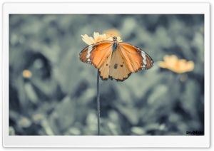 The Butterfly HD Wide Wallpaper for Widescreen