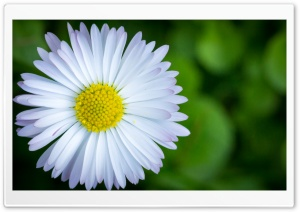 The Camomile HD Wide Wallpaper for 4K UHD Widescreen desktop & smartphone