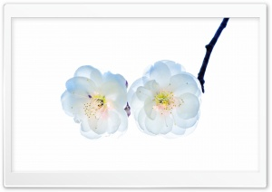 The First Plum Blossom HD Wide Wallpaper for Widescreen