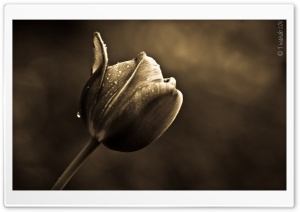 The Good Tulip HD Wide Wallpaper for Widescreen