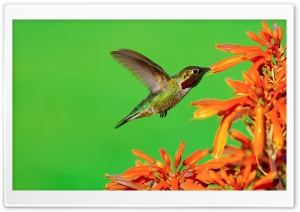 The Hungry Hummingbird Ultra HD Wallpaper for 4K UHD Widescreen desktop, tablet & smartphone
