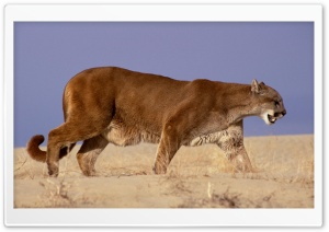 The Hunter Mountain Lion HD Wide Wallpaper for Widescreen