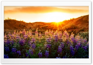 The Lupines At Sunset HD Wide Wallpaper for Widescreen