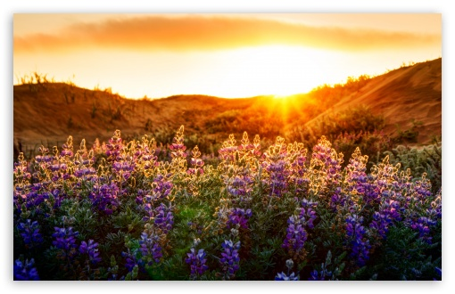The Lupines At Sunset ❤ 4K UHD Wallpaper for Wide 16:10 5:3 Widescreen WHXGA WQXGA WUXGA WXGA WGA ; 4K UHD 16:9 Ultra High Definition 2160p 1440p 1080p 900p 720p ; UHD 16:9 2160p 1440p 1080p 900p 720p ; Standard 4:3 5:4 3:2 Fullscreen UXGA XGA SVGA QSXGA SXGA DVGA HVGA HQVGA ( Apple PowerBook G4 iPhone 4 3G 3GS iPod Touch ) ; Tablet 1:1 ; iPad 1/2/Mini ; Mobile 4:3 5:3 3:2 16:9 5:4 - UXGA XGA SVGA WGA DVGA HVGA HQVGA ( Apple PowerBook G4 iPhone 4 3G 3GS iPod Touch ) 2160p 1440p 1080p 900p 720p QSXGA SXGA ; Dual 16:10 5:3 16:9 4:3 5:4 WHXGA WQXGA WUXGA WXGA WGA 2160p 1440p 1080p 900p 720p UXGA XGA SVGA QSXGA SXGA ;