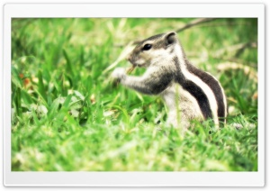 The Real Chipmunk HD Wide Wallpaper for Widescreen