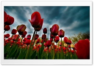 The Tulip Season HD Wide Wallpaper for 4K UHD Widescreen desktop & smartphone