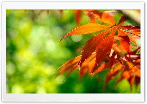 Thin Leaves HD Wide Wallpaper for Widescreen