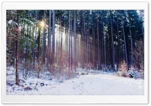 Thin Trees, Winter HD Wide Wallpaper for Widescreen