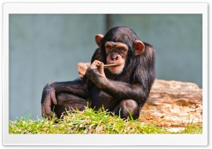 Thinking Chimp HD Wide Wallpaper for 4K UHD Widescreen desktop & smartphone