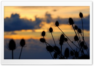 Thistle HD Wide Wallpaper for Widescreen