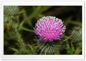 Thistle Blossom HD Wide Wallpaper for Widescreen
