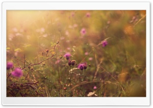 Thistle Field HD Wide Wallpaper for Widescreen