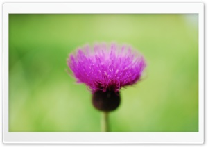 Thistle Flower HD Wide Wallpaper for Widescreen