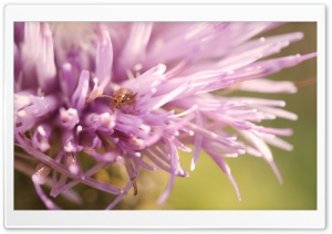 Thistle Flower Bug HD Wide Wallpaper for Widescreen