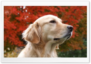 Thoughtful Golden Retriever HD Wide Wallpaper for Widescreen