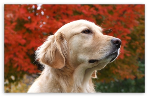 Thoughtful Golden Retriever HD wallpaper for Wide 16:10 5:3 Widescreen WHXGA WQXGA WUXGA WXGA WGA ; HD 16:9 High Definition WQHD QWXGA 1080p 900p 720p QHD nHD ; Standard 4:3 5:4 3:2 Fullscreen UXGA XGA SVGA QSXGA SXGA DVGA HVGA HQVGA devices ( Apple PowerBook G4 iPhone 4 3G 3GS iPod Touch ) ; Tablet 1:1 ; iPad 1/2/Mini ; Mobile 4:3 5:3 3:2 16:9 5:4 - UXGA XGA SVGA WGA DVGA HVGA HQVGA devices ( Apple PowerBook G4 iPhone 4 3G 3GS iPod Touch ) WQHD QWXGA 1080p 900p 720p QHD nHD QSXGA SXGA ;