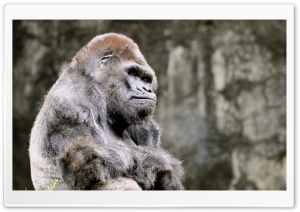 Thoughtful Gorilla HD Wide Wallpaper for Widescreen