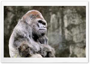 Thoughtful Gorilla HD Wide Wallpaper for 4K UHD Widescreen desktop & smartphone