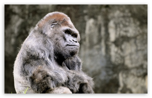 Thoughtful Gorilla HD wallpaper for Wide 16:10 5:3 Widescreen WHXGA WQXGA WUXGA WXGA WGA ; HD 16:9 High Definition WQHD QWXGA 1080p 900p 720p QHD nHD ; Standard 4:3 5:4 3:2 Fullscreen UXGA XGA SVGA QSXGA SXGA DVGA HVGA HQVGA devices ( Apple PowerBook G4 iPhone 4 3G 3GS iPod Touch ) ; Tablet 1:1 ; iPad 1/2/Mini ; Mobile 4:3 5:3 3:2 16:9 5:4 - UXGA XGA SVGA WGA DVGA HVGA HQVGA devices ( Apple PowerBook G4 iPhone 4 3G 3GS iPod Touch ) WQHD QWXGA 1080p 900p 720p QHD nHD QSXGA SXGA ;