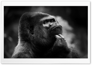 Thoughtful Gorilla BW HD Wide Wallpaper for Widescreen