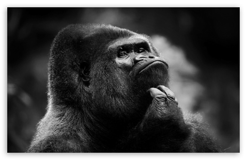 Thoughtful Gorilla BW HD wallpaper for Wide 16:10 5:3 Widescreen WHXGA WQXGA WUXGA WXGA WGA ; HD 16:9 High Definition WQHD QWXGA 1080p 900p 720p QHD nHD ; Standard 4:3 5:4 3:2 Fullscreen UXGA XGA SVGA QSXGA SXGA DVGA HVGA HQVGA devices ( Apple PowerBook G4 iPhone 4 3G 3GS iPod Touch ) ; Tablet 1:1 ; iPad 1/2/Mini ; Mobile 4:3 5:3 3:2 16:9 5:4 - UXGA XGA SVGA WGA DVGA HVGA HQVGA devices ( Apple PowerBook G4 iPhone 4 3G 3GS iPod Touch ) WQHD QWXGA 1080p 900p 720p QHD nHD QSXGA SXGA ;