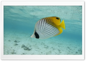 Thread-fin Butterfly Fish HD Wide Wallpaper for 4K UHD Widescreen desktop & smartphone