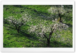Three Blossom Trees HD Wide Wallpaper for Widescreen