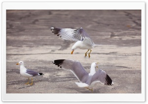 Three Gulls HD Wide Wallpaper for Widescreen