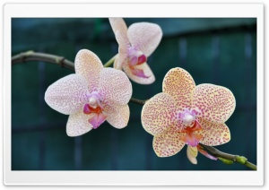 Three Orchids HD Wide Wallpaper for Widescreen