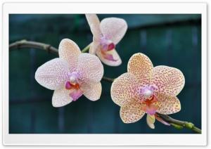 Three Orchids Ultra HD Wallpaper for 4K UHD Widescreen desktop, tablet & smartphone