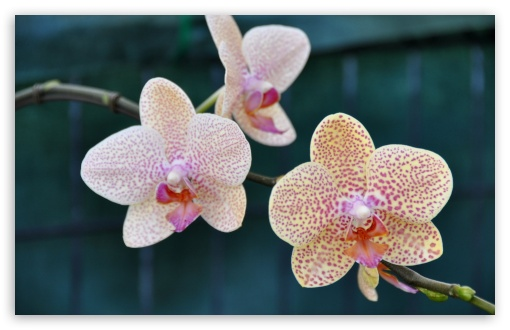 Three Orchids ❤ 4K UHD Wallpaper for Wide 16:10 5:3 Widescreen WHXGA WQXGA WUXGA WXGA WGA ; 4K UHD 16:9 Ultra High Definition 2160p 1440p 1080p 900p 720p ; Standard 4:3 5:4 3:2 Fullscreen UXGA XGA SVGA QSXGA SXGA DVGA HVGA HQVGA ( Apple PowerBook G4 iPhone 4 3G 3GS iPod Touch ) ; Smartphone 5:3 WGA ; iPad 1/2/Mini ; Mobile 4:3 5:3 3:2 16:9 5:4 - UXGA XGA SVGA WGA DVGA HVGA HQVGA ( Apple PowerBook G4 iPhone 4 3G 3GS iPod Touch ) 2160p 1440p 1080p 900p 720p QSXGA SXGA ;
