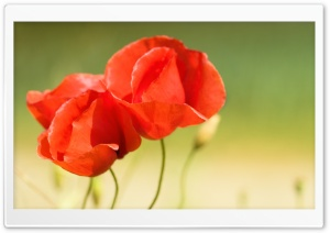 Three Poppies HD Wide Wallpaper for Widescreen
