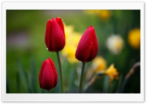 Three Red Tulips HD Wide Wallpaper for Widescreen