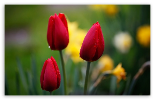 Three Red Tulips HD wallpaper for Wide 16:10 5:3 Widescreen WHXGA WQXGA WUXGA WXGA WGA ; HD 16:9 High Definition WQHD QWXGA 1080p 900p 720p QHD nHD ; Standard 4:3 5:4 3:2 Fullscreen UXGA XGA SVGA QSXGA SXGA DVGA HVGA HQVGA devices ( Apple PowerBook G4 iPhone 4 3G 3GS iPod Touch ) ; Tablet 1:1 ; iPad 1/2/Mini ; Mobile 4:3 5:3 3:2 16:9 5:4 - UXGA XGA SVGA WGA DVGA HVGA HQVGA devices ( Apple PowerBook G4 iPhone 4 3G 3GS iPod Touch ) WQHD QWXGA 1080p 900p 720p QHD nHD QSXGA SXGA ;