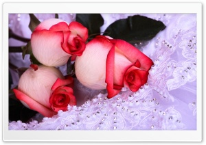 Three Roses HD Wide Wallpaper for Widescreen