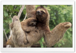 Three Toed Sloth With Baby Corcovado National Park Costa Rica HD Wide Wallpaper for 4K UHD Widescreen desktop & smartphone