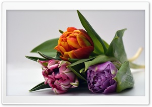 Three Tulips HD Wide Wallpaper for Widescreen