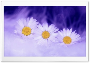 Three White Daisy HD Wide Wallpaper for 4K UHD Widescreen desktop & smartphone
