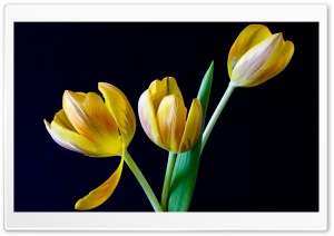 Three Yellow Tulips HD Wide Wallpaper for Widescreen