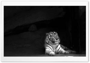 Tiger Ultra HD Wallpaper for 4K UHD Widescreen desktop, tablet & smartphone