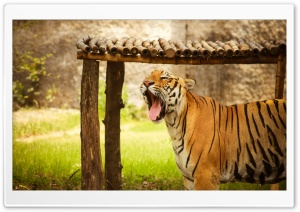 Tiger HD Wide Wallpaper for Widescreen