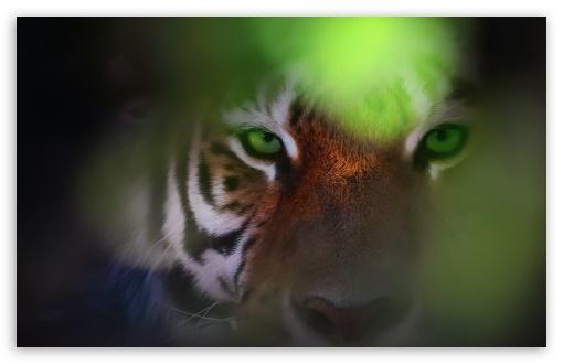 Download Tiger Ambush HD Wallpaper
